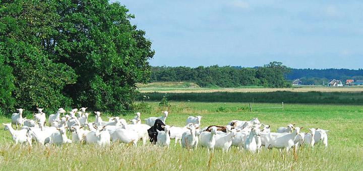 texel-vakantie-verhuur-kudde-geiten